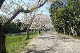 佐鳴湖お花見桜並木